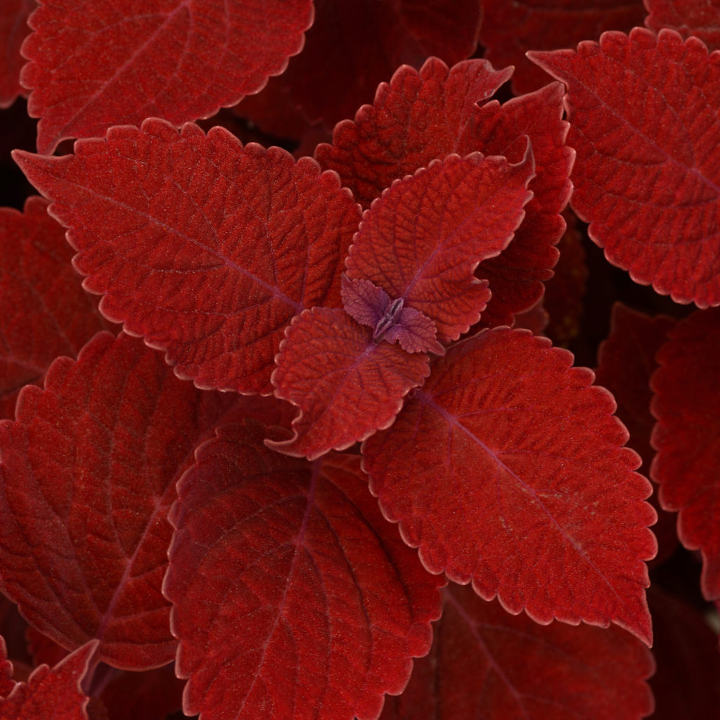 Ruby Slipper Coleus