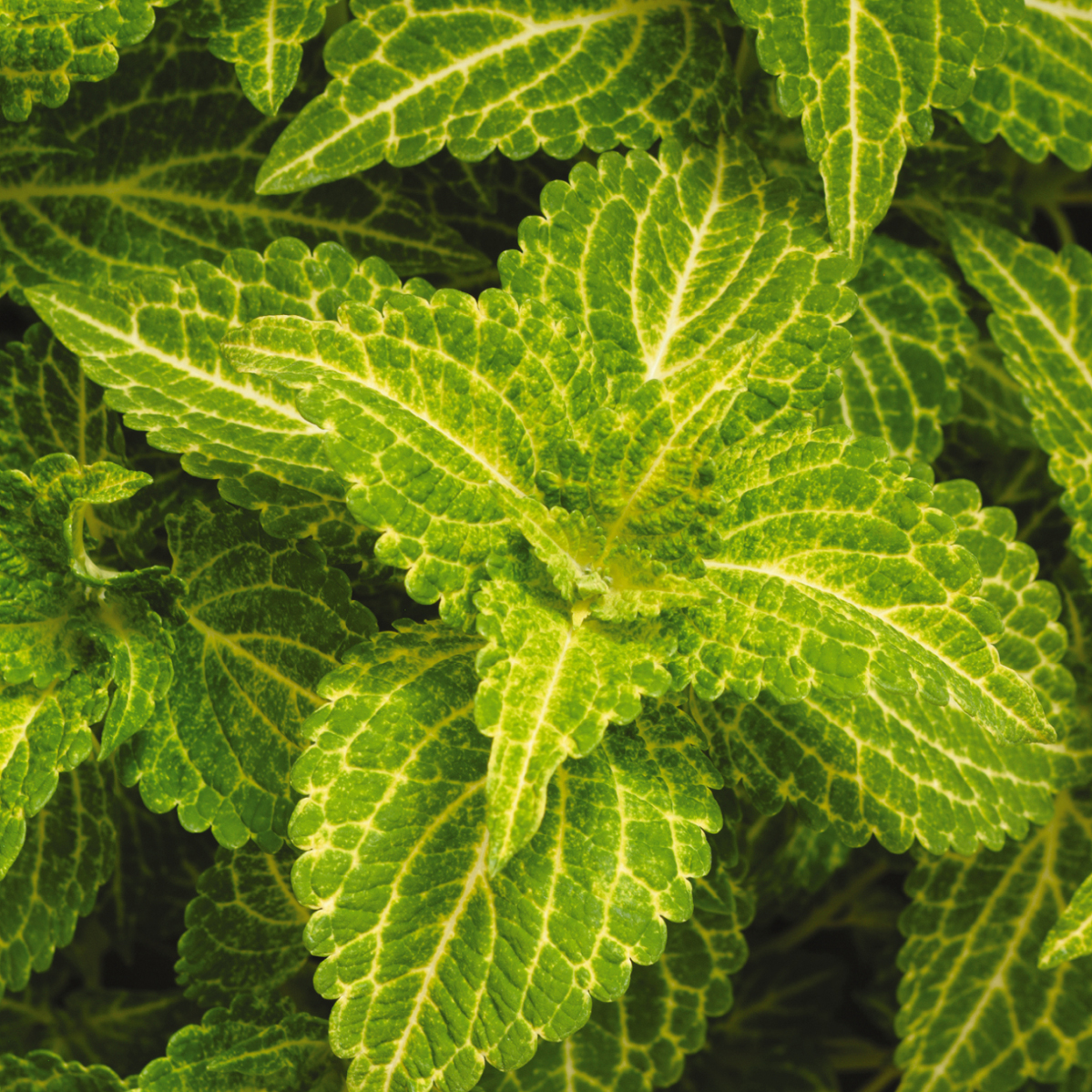 Coleus Electric Lime 4 33 Pot Blooms Greenhouse Grower Outlet