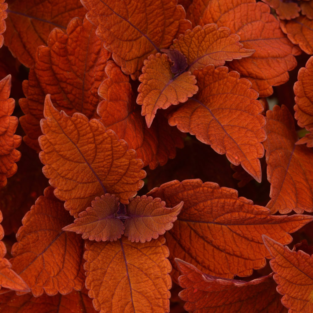 Inferno Coleus
