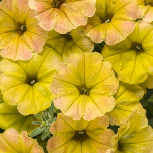 Supertunia Honey Annual Flower - honey golden yellow petunia
