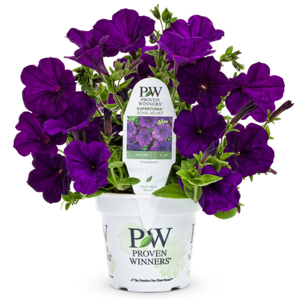 Supertunia, Royal Velvet - deep purple petunia flower in a white Proven Winners branded pot.