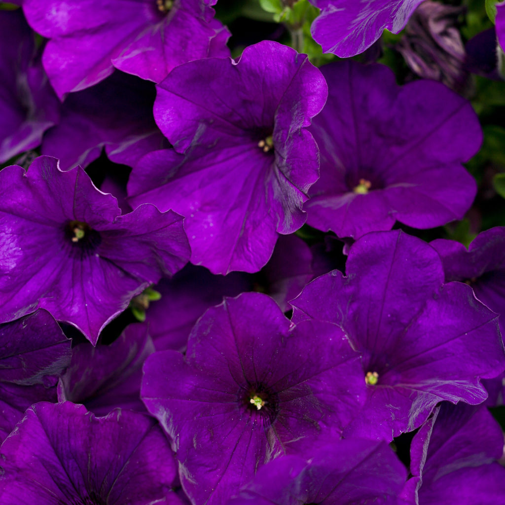 Supertunia, Royal Velvet - deep purple petunia flower.
