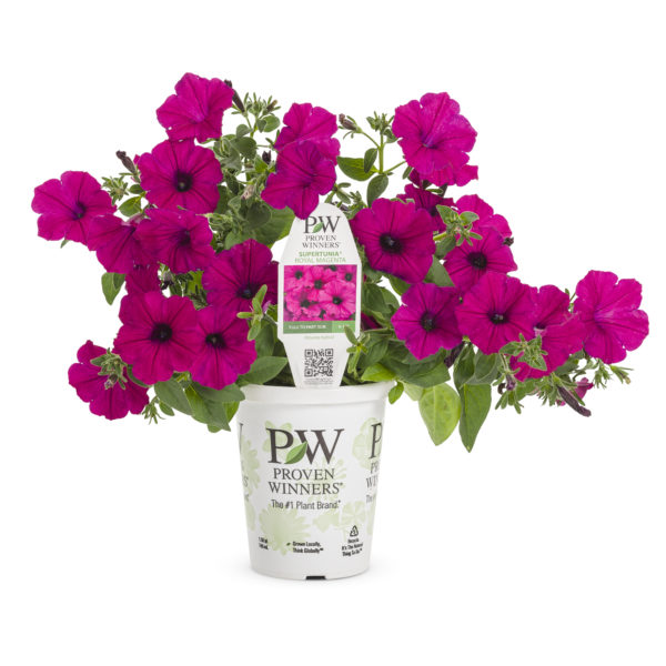 Supertunia, Royal Magenta - petunia with a deep pink color in a white Proven Winner branded pot.