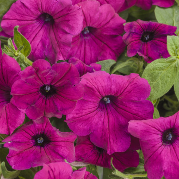 Supertunia, Royal Magenta - petunia with a deep pink color.