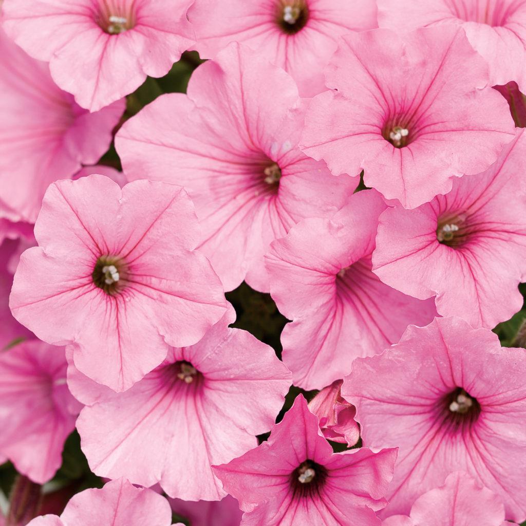 Supertunia Vista Bubblegum, bright pink petunia.
