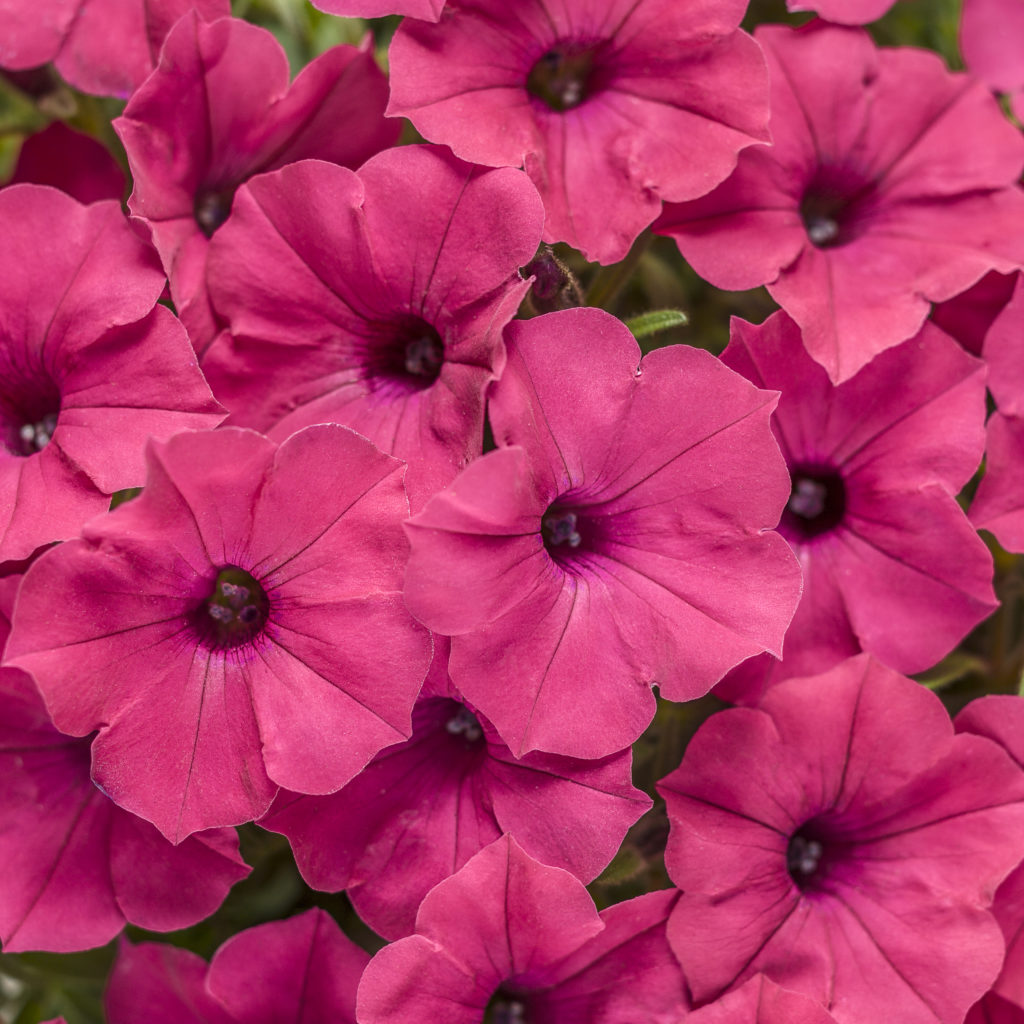 Supertunia Vista Fuschia, a vibrant fuschia, dark pink petunia flower.