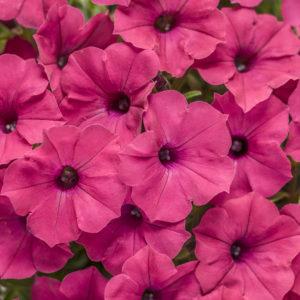 Supertunia Vista Fuschia, a vibrant fuschia, dark pink petunia flower.
