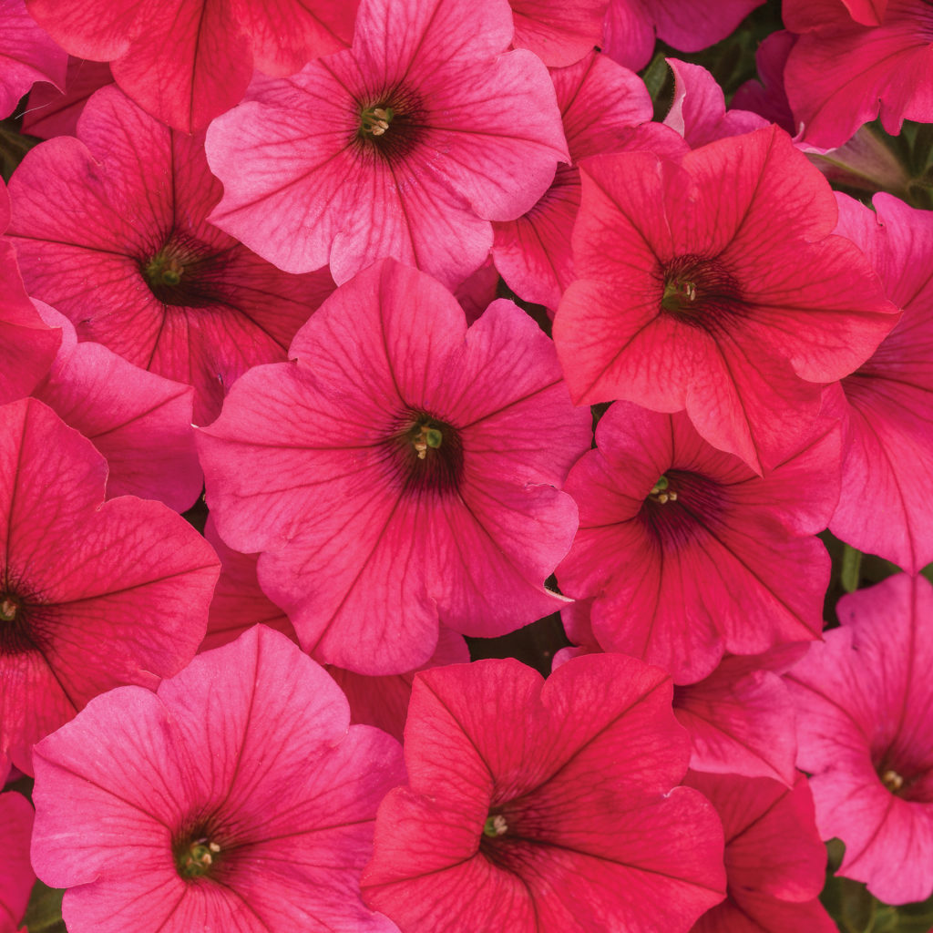 Supertunia, Vista Paradise - hot pink, almost red petunia flower.