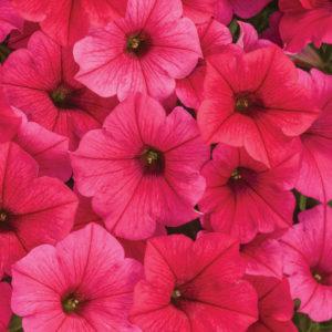 Supertunia, Vista Paradise - hot pink, almost red petunia flower.
