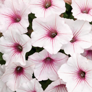 Supertunia Vista Silverberry - a light, silvery-pink petunia with hot pink center veins.