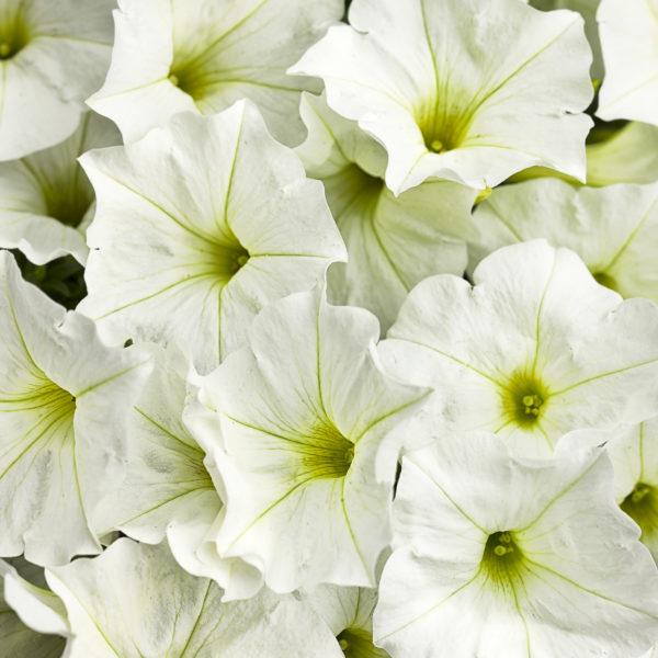 Supertunia White Flower - white petunia flower with slight yellow center