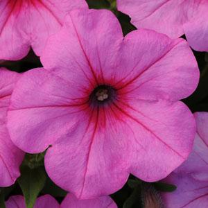 Petunia Easy Wave Pink 6 Pack Blooms Greenhouse Grower Outlet