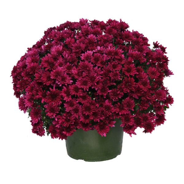 9x6 Dark Purple Garden Mum