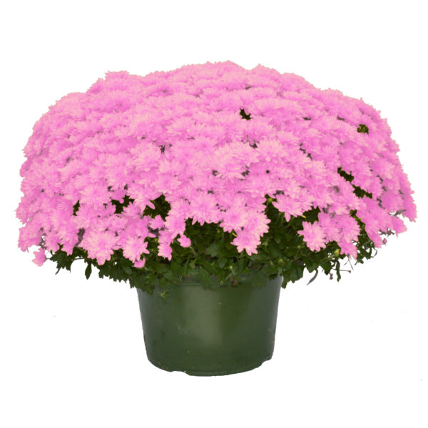 9x6 Light Pink Garden Mum