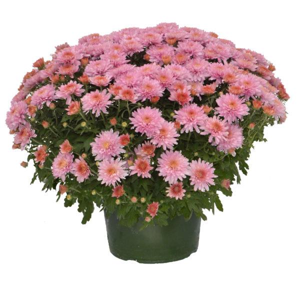 9x6 Pink Garden Mum