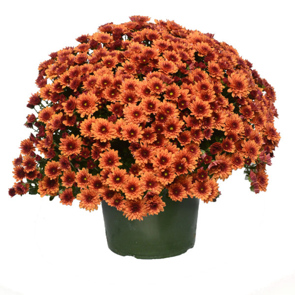 9x6 Pop Eye Orange Garden Mum