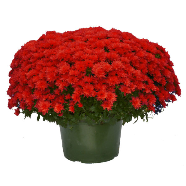 9x6 Red Garden Mum