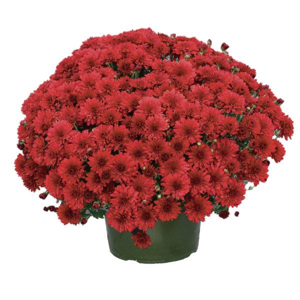 9x6 Red Hots Garden Mum