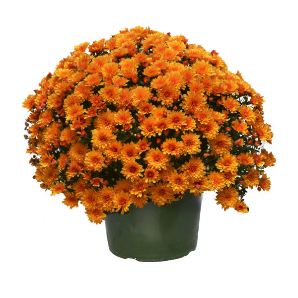 9x6 Sunset Orange Garden Mum