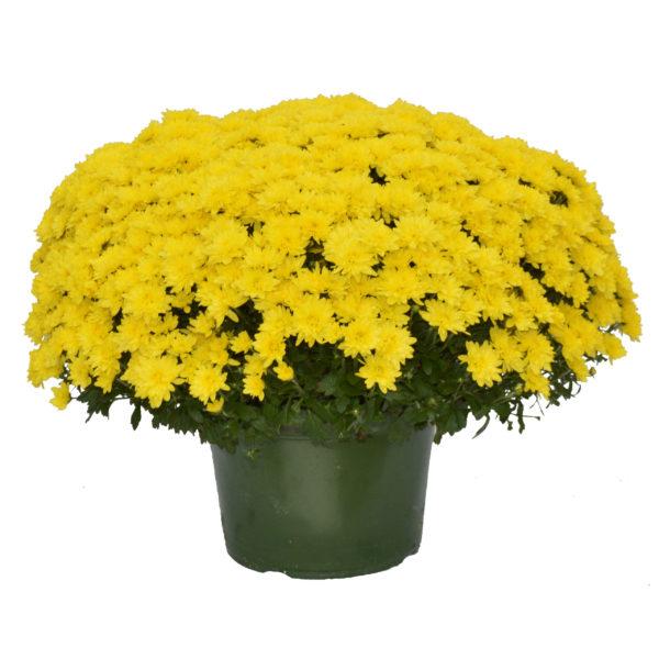 9x6 Yellow Garden Mum