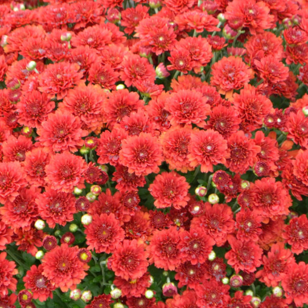 Aideen Red Fire Garden Mum