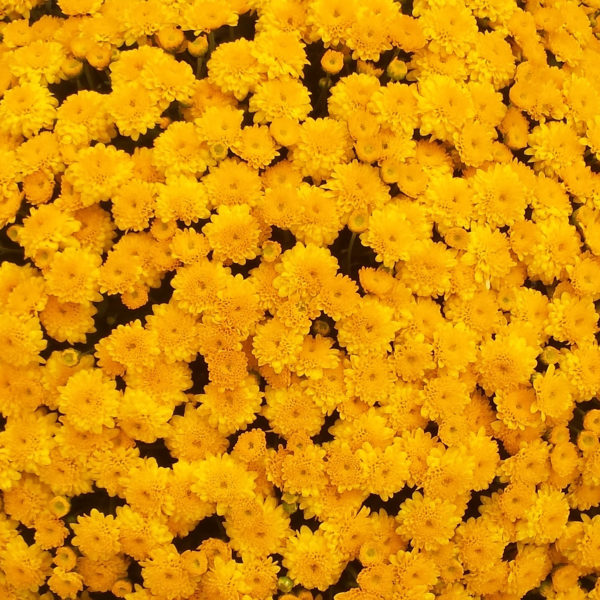 Akilon Gold Garden Mum