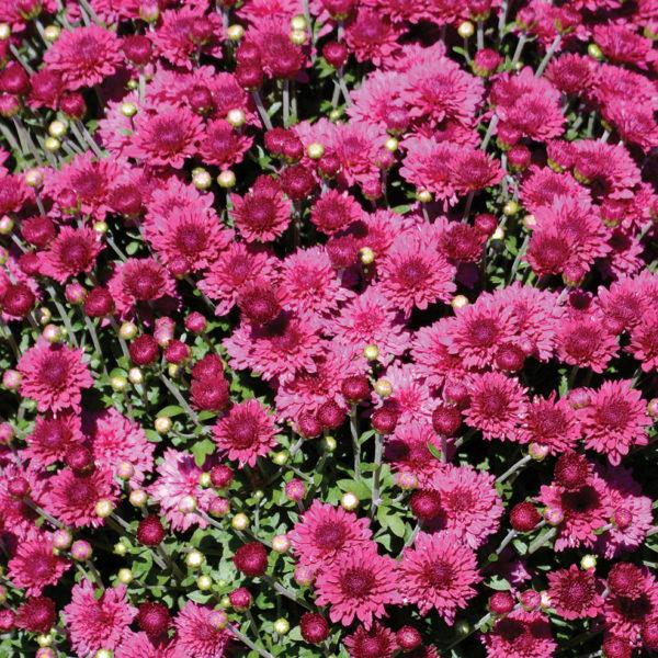 Arlette Purple Garden Mum