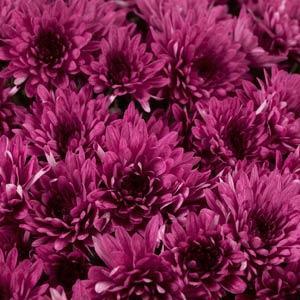 Avalon Purple Garden Mum