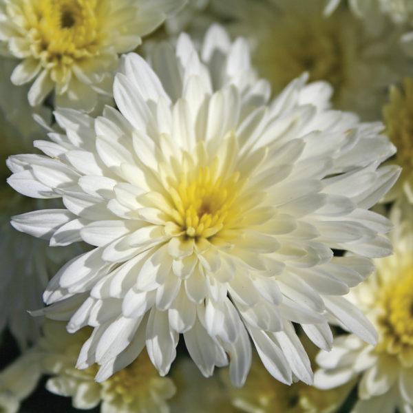 Bertha White Garden Mum