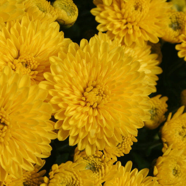 Bethany Yellow Garden Mum