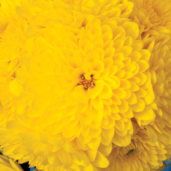 Cheryl Sparkling Yellow Garden Mum