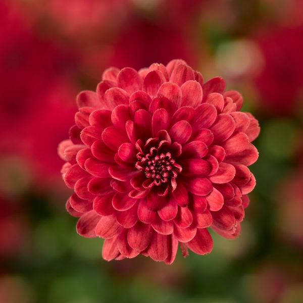 Danielle Red Garden Mum