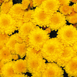 Gold Rush Yellow Garden Mum
