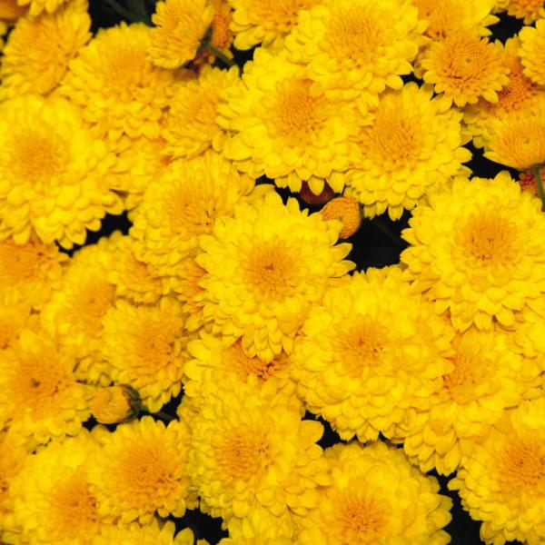 Gold Rush Yellow Garden Mum