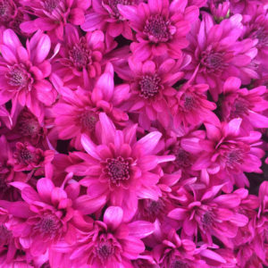 Grapeberry Purple Garden Mum