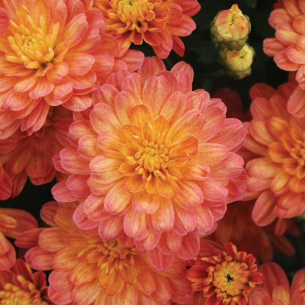 Jacqueline Orange Fusion Garden Mum