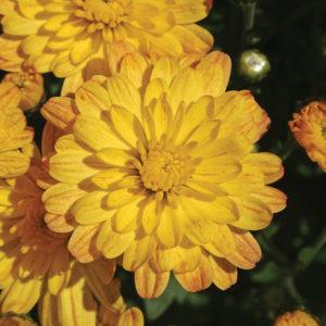 Jacqueline Yellow Improved Garden Mum