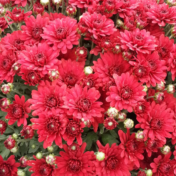 Lava Red Garden Mum