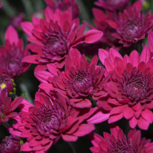 Majestey Purple Garden Mum