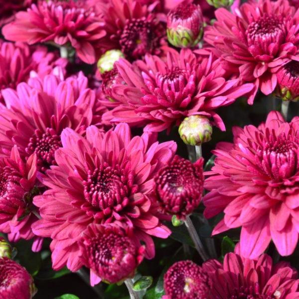 Plumberry Purple Garden Mum