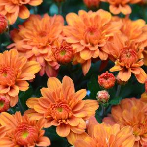 Pumpkin Pie Orange Garden Mum