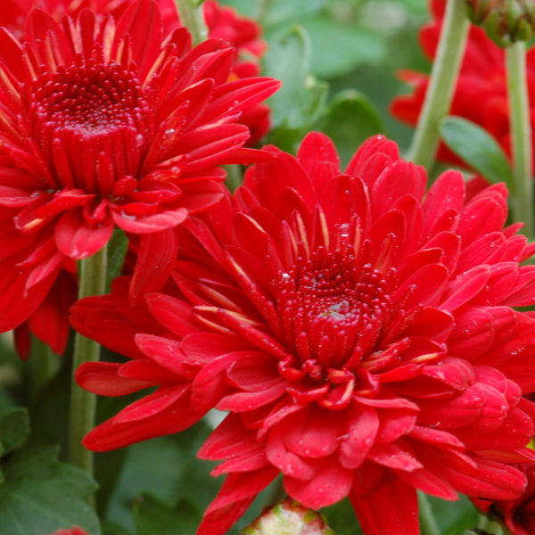 Radiant Red Garden Mum