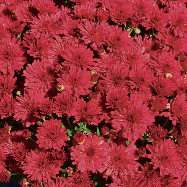 Red Hots Garden Mum