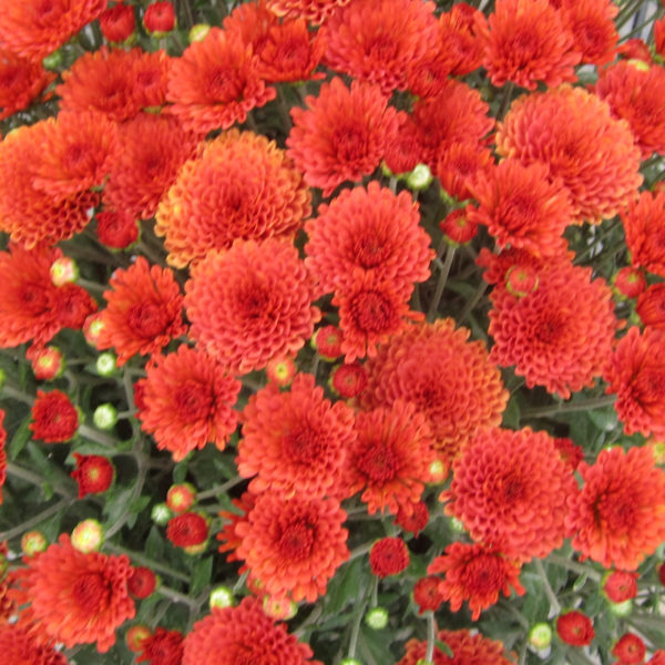 Rhinos Orange Garden Mum