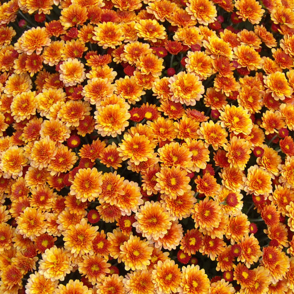 Staviski Orange Garden Mum