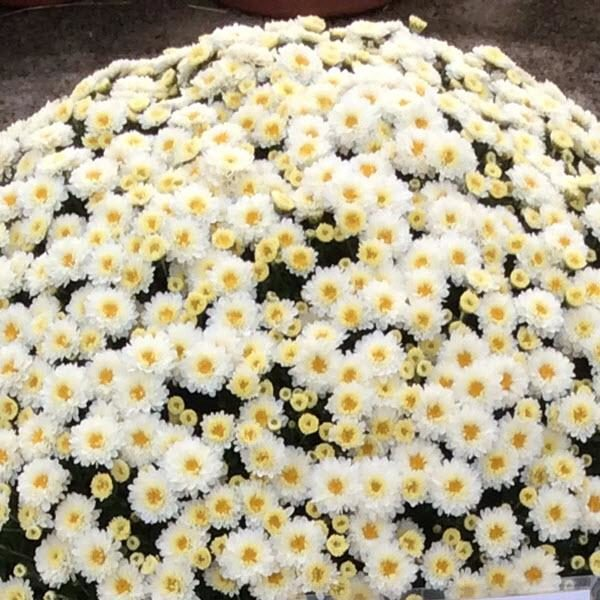 Staviski White Garden Mum