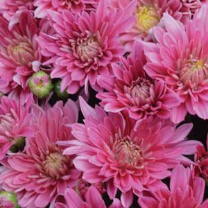 Stellar Pink