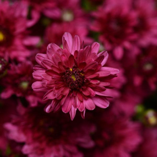 Stellar Purple Garden Mum