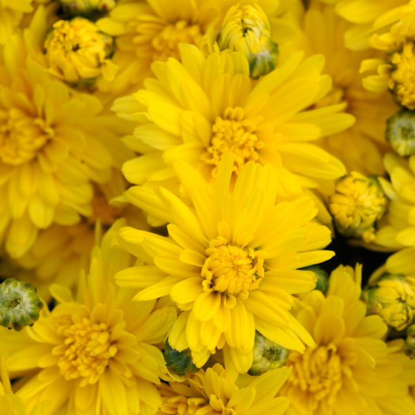 Stellar Yellow Garden Mum