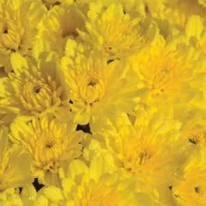 Sunrise Yellow Garden Mum